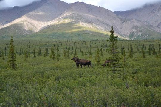 El Viatge de Landi, la Tortuga Blanca: Alaska