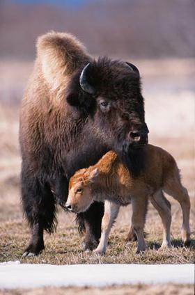 Bisons d'Alaska cap a Sibèria!!!