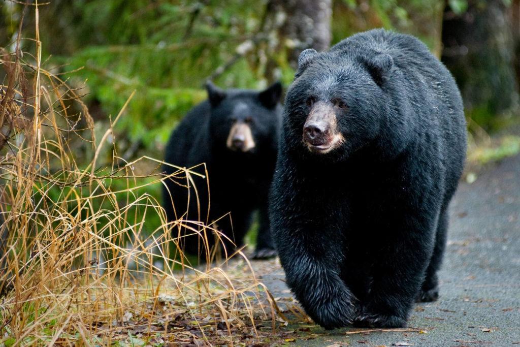 Alerta, que els óssos surten del cau.