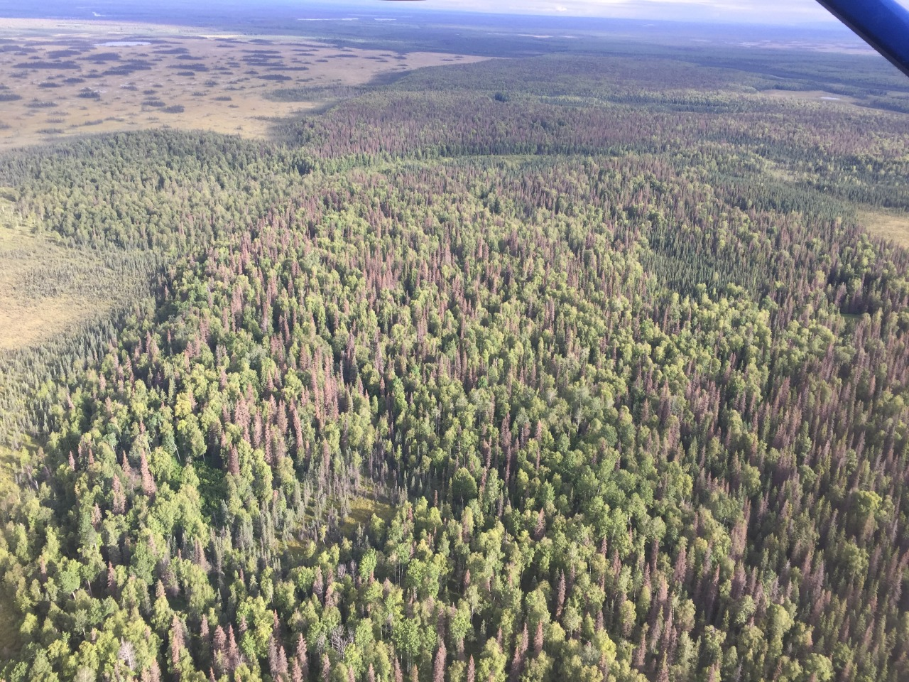 Llocs d'acampada tancats a causa de la plaga de l'escarbat dels pins