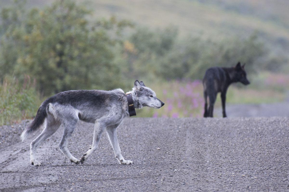 Na Riley, la lloba de Denali