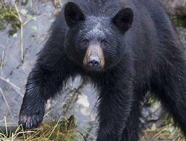 A Haines recullen la fruita per evitar als óssos